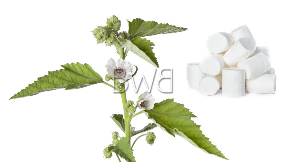 plante mauve blanche origine de la guimauve