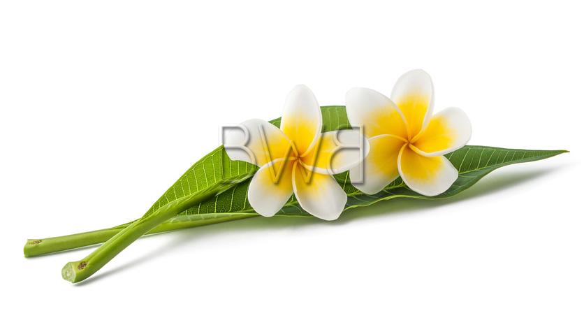 fleurs de monoi